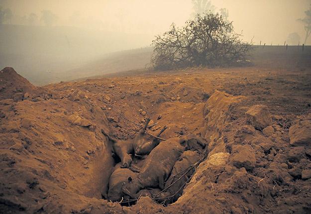 Les Australiens se dépêchaient d'enterrer les bovins tués par les feux à Cobargo, en Nouvelle-Galles du Sud, le 5 janvier. Photo : REUTERS/Tracey Nearmy