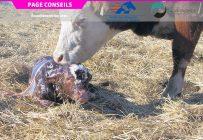 Les veaux pourraient acquérir une protection contre la paratuberculose bovine dès leur naissance grâce à un vaccin. Photo : Archives/TCN