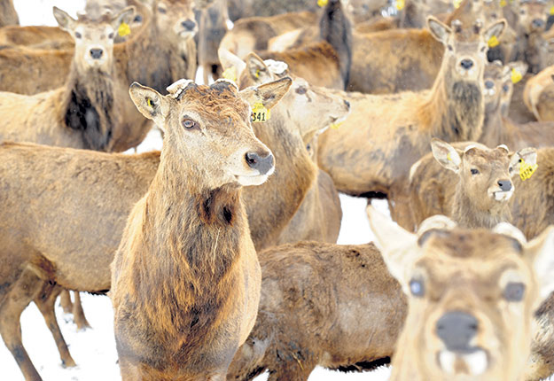Bon nombre d'éleveurs songent à se départir de leurs bêtes un an et demi après la détection de cas de maladie débilitante chronique des cervidés. Photo : Archives/TCN