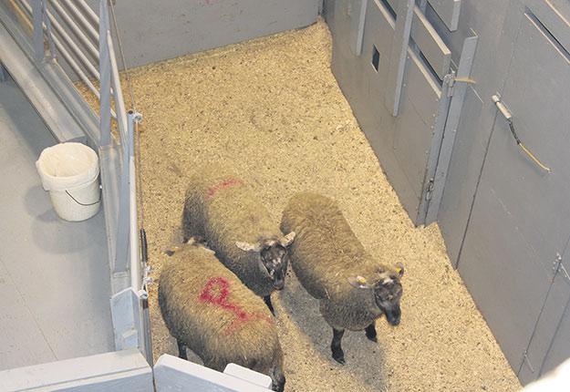 Les fêtes religieuses qui se succéderont en l'espace d'environ trois mois lors des 10prochaines années chamboulent la mise en marché des agneaux lourds. Photo : Archives TCN