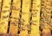 Les abeilles qui pollinisent les cannebergières durant l'été ont plus de chances de mourir l'hiver suivant que celles qui séjournent dans d'autres types de cultures. Photo : Archives/TCN