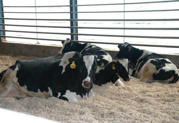 La demande pour les vaches de réforme connaît une baisse importante en ce moment, en raison de la COVID-19 qui ralentit les activités dans deux abattoirs majeurs situés en Alberta et en Pennsylvanie. Crédit photo : Archives/TCN