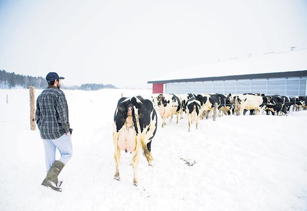 Étant sous régie biologique, les vaches des Lampron doivent obligatoirement avoir accès au pâturage l'été. Sortir en hiver demeure un extra bien apprécié. Photos : Martin Ménard/TCN