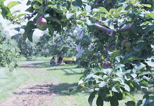 Actuellement, il n'existe pas de portrait des variétés de pommes cultivées au Québec. Photo : Archives TCN