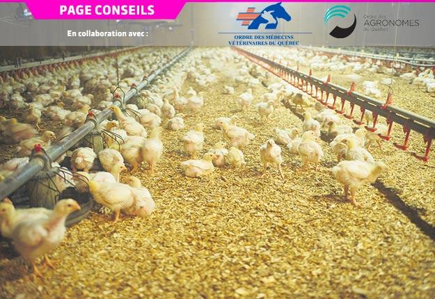 La recherche permet de trouver des solutions de rechange aux antibiotiques pour améliorer la santé globale des poulets, notamment. Photo : Martin Ménard/Archives TCN
