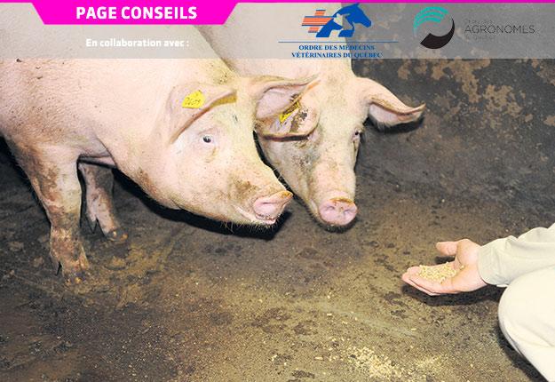Les mycotoxines présentes dans le grain peuvent être responsables de perte de poids chez les porcs. Photo : Archives/TCN