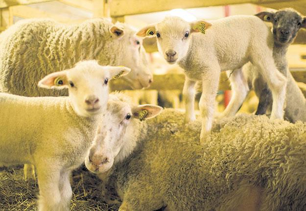 La mort précoce guette les agneaux nouveau-nés dans la production ovine qui travaille sur une nouvelle application visant à résoudre ce problème. Photo : Gracieuseté : Société des éleveurs de moutons de race pure du Qc