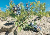 Le programme de fertilisation de la culture des bleuets d'Agro-100 est une combinaison de cinq produits différents (Salvador, Agro-B Mobilité, Agro-Phos, POMA et KALI-T) appliqués à différents stades de maturation du plant. Photo : Shutterstock