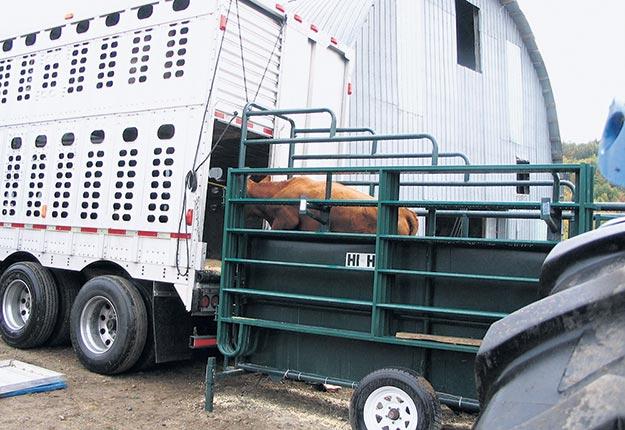 Les éleveurs sont invités à étaler la mise à l'encan des vaches de réforme sur plusieurs semaines, plutôt que d'en envoyer en grande quantité, le même jour. Photo : Archives/TCN