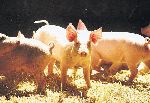 Selon une récente analyse du Centre d'études sur les coûts de production en agriculture, le groupe de tête en élevage porcin dégage une marge de profit de 10 $ de l'heure de plus pour un nombre d'heures travaillées similaire à la moyenne. Photo : Archives/TCN