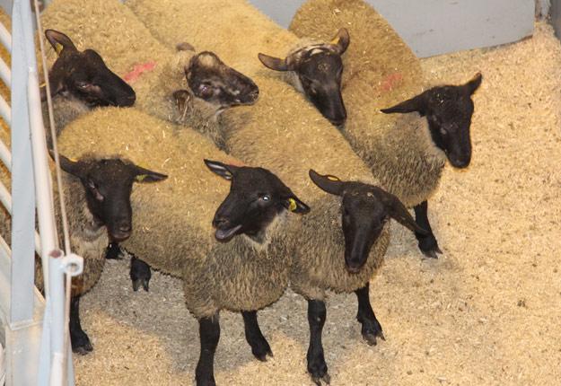 Les Éleveurs d'ovins du Québec espèrent que le ramadan va contribuer à revigorer la demande d'agneaux, qui a été décevante à Pâques. Photo : Archives/TCN