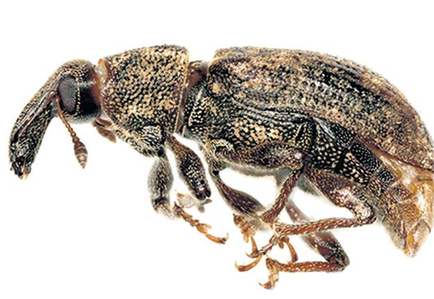 Espèce indigène du Québec, le charançon de la carotte est un insecte qui vivait autrefois dans les marais et les tourbières. Il s'est adapté aux cultures maraîchères et cause des ravages dans les champs de carottes et d'autres apiacées comme le céleri, le céleri-rave et le persil.