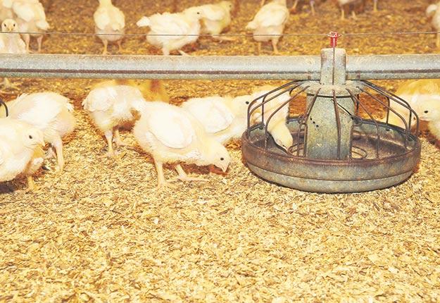 La LTI est une maladie contagieuse sévère causée par un virus affectant le système respiratoire des poulets, mais également d'autres espèces aviaires. Photo : Archives / TCN