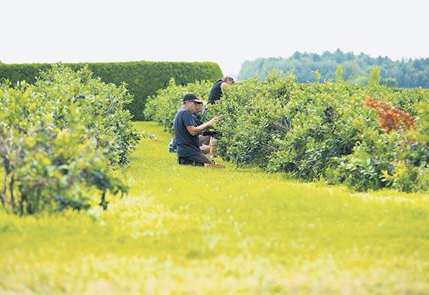Des producteurs de petits fruits s'inquiètent pour la prochaine saison d'autocueillette. Photo : Martin Ménard/Archives TCN