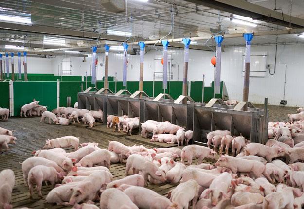 Les maternités porcines et les pouponnières ne perçoivent plus de revenus pour les cochons qu'ils produisent à cause du ralentissement de l'abattage dans les usines. Photo : Les Éleveurs de porcs du Québec