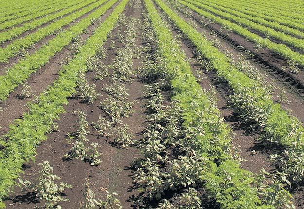 Un champ de carottes infesté d'amarantes. Un seul plant d'amarante peut produire de 14000 à 100000graines par saison.