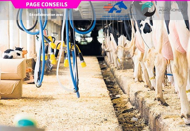 L'infertilité post-partum des vaches laitières semble amplifiée par une production laitière accrue. Photo : Martin Ménard/Archives TCN