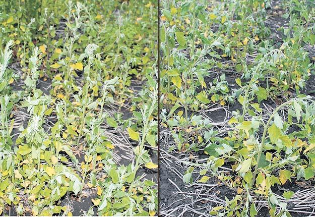 Sur ces deux photos prises cinq jours après contrôle, on peut apprécier la différence de résultats entre une bouillie de glyphosate préparée avec de l'eau sale (à gauche) et de l'eau propre (à droite) sur des plants de chénopodes blancs.
