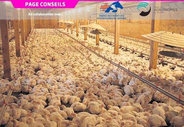 Parmi 200 poulets de chair issus de 38 fermes, aucun n'a été détecté porteur de la bactérie SARM au Québec en 2014. Photo : Archives/TCN