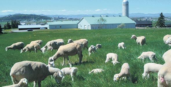 Allonger la période de pâturage contribue à diminuer les besoins en fourrages entreposés. Photo : Archives/TCN