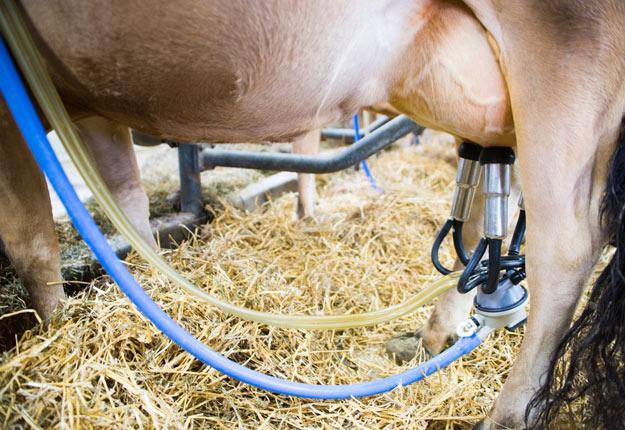 Les surplus de lait pourraient entraîner une baisse du prix payé aux producteurs de 5 à 10 %. Crédit photo : Martin Ménard/TCN