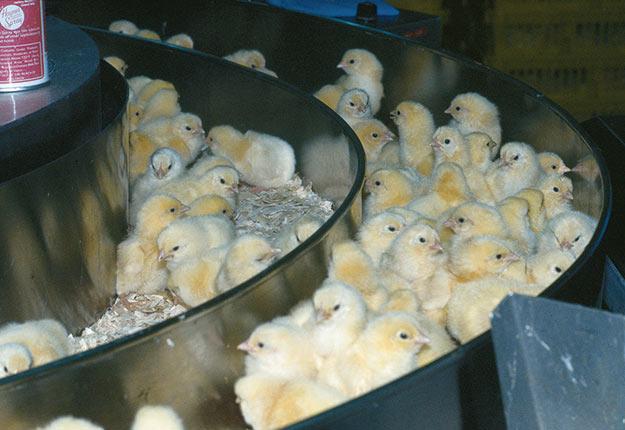 Plus de 200000 poussins ont dû être euthanasiés en raison de la fermeture des salles à manger provoquée par la pandémie. Photos : Archives/TCN