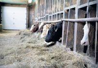 Tous les taureaux et toutes les femelles destinées à la reproduction devraient être protégés par une vaccination FP afin d'optimiser l'objectif ultime du troupeau: produire annuellement un veau le plus rentable possible au moment de sa mise en marché.