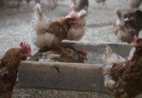 Les producteurs devront faire euthanasier de deux à trois semaines plus tôt entre 350 000 à 500 000 poules pondeuses. Photo: Archives / TCN