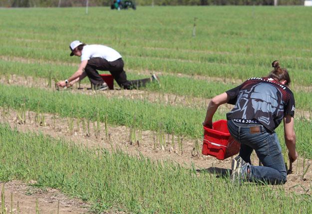L'annonce vise à attirer les jeunes au champ et à aider les producteurs en manque de main-d'œuvre, en raison de la COVID-19. Crédit photo : Caroline Morneau/TCN