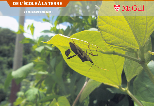 Les relations entre les insectes dans un champ peuvent influencer le rendement d'une culture. Photo : Gracieuseté de Julien Malard