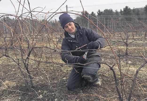 La main-d'œuvre québécoise a remplacé avec succès les travailleurs étrangers au Vignoble de l'Orpailleur, à Dunham en Montérégie. Photo : Gracieuseté du Vignoble de l'Orpailleur