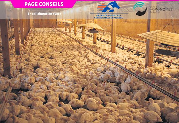 L'entérite nécrotique peut être un problème de taille dans les élevages de volailles. Photo : Archives / TCN