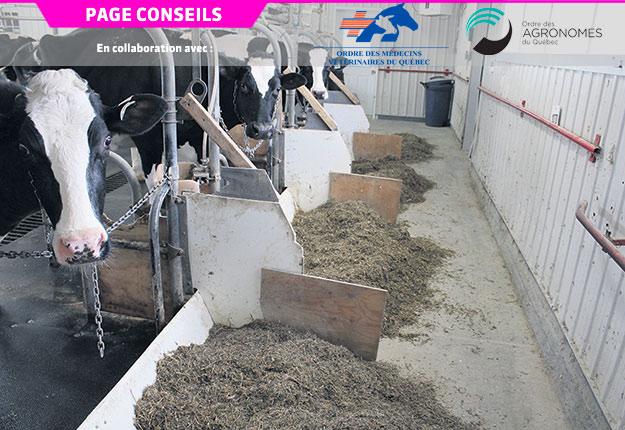 Les vaches suivies pour une étude de l'Université Laval en 2019 ont consommé différentes rations expérimentales, dont une qui a amélioré l'efficacité d'utilisation de la protéine de 21%. Photo : Gracieuseté de Jean-Philippe Laroche