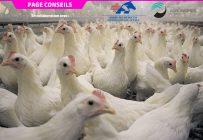 Le coronavirus à l'origine de la bronchite infectieuse aviaire chez les volailles n'est pas du même groupe que celui causant la COVID-19 chez l'humain. Photo : Archives / TCN