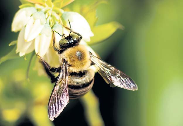 Les producteurs de bleuets sauvages ne peuvent plus compter sur l'aide financière de Québec pour la pollinisation. Photo : Shutterstock