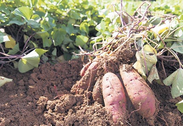 Récoltées 93 jours après la plantation des boutures, les patates douces des premières lignées génétiques sélectionnées montrent des résultats intéressants.