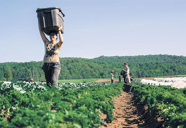 Plusieurs employés agricoles d'expérience ne sont pas admissibles aux incitatifs du gouvernement et gagneront moins que les nouveaux travailleurs recrutés au champ cette année. Photo : Gracieuseté de la Ferme aux petits oignons
