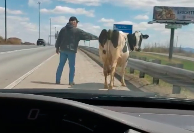 Yannick Nantel a eu toute une surprise en voyant une vache se promener sur l'autoroute 20. Photo : Gracieuseté de Yannick Nantel