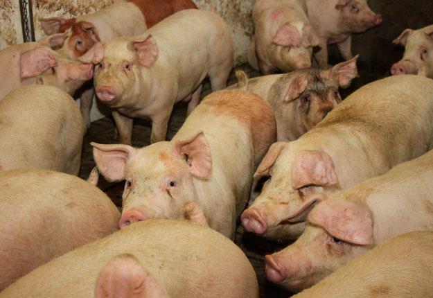 Pour contrer les « mouvements erratiques » des prix sur le marché, la Régie établit que le ratio entre le prix du porc vivant et celui du cut out ne pourra descendre en dessous d'un seuil temporaire de 65 %. Photo : Archives / TCN