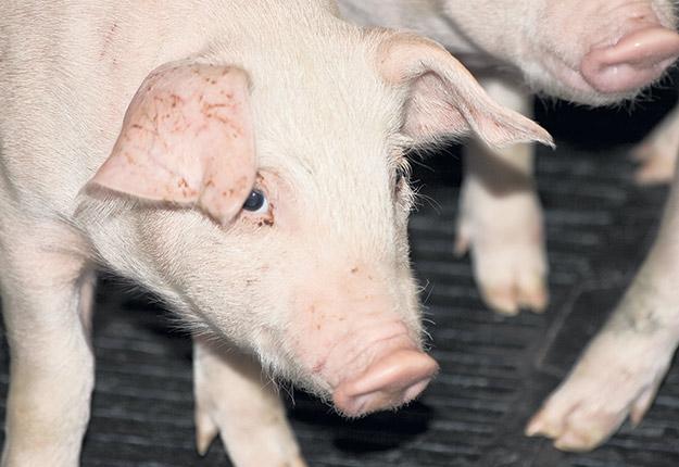 Les porcs sont des animaux particulièrement vulnérables en périodes de grandes chaleurs et d'humidité. Photo : Archives / TCN