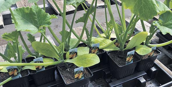 Au moment de transplanter, certains légumes tels les courges peuvent exceptionnellement être enterrés jusqu'à la hauteur des premières feuilles.