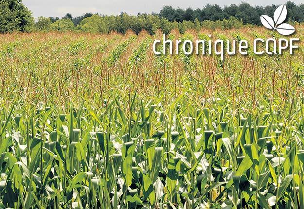 Les rendements du maïs ensilage pourraient bénéficier de la hausse des températures et de l'allongement de la saison de croissance, notamment dans les régions actuellement les plus froides du Québec. Photo : Archives/TCN