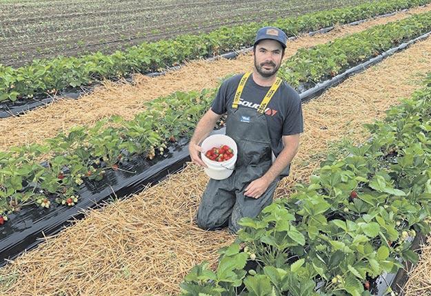 Charles Lefebvre Saint-Arnaud est déjà au travail dans le champ de fraises des Jardins Bio Campanipol. Les visiteurs ne pourront pas se joindre à lui pour l'autocueillette cette année. Photo : Gracieuseté des Jardins Bio Campanipol