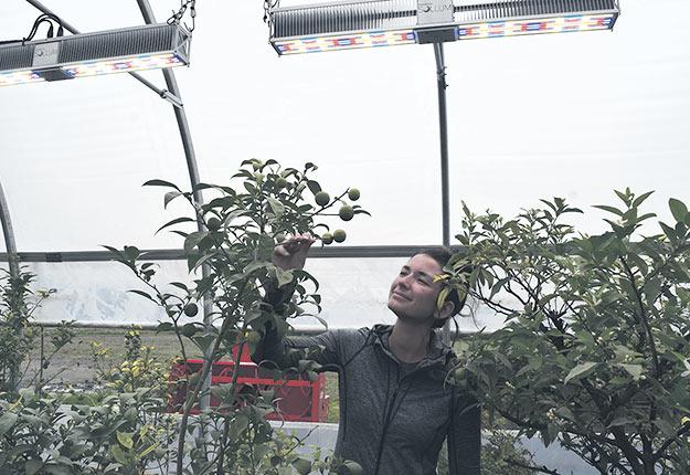 La propriétaire d'O'Citrus Vicky Vaillancourt teste les luminaires de l'entreprise Sollum dans l'espoir de recréer la lumière des pays asiatiques pour ses agrumes. Photos : David Riendeau/TCN