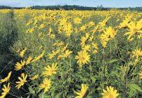Selon la variété et les conditions météo, la floraison des topinambours, qui n'est pas sans rappeler celles des tournesols, survient entre la fin août et le début de septembre. Photo : Gracieuseté de Robert Desmarais