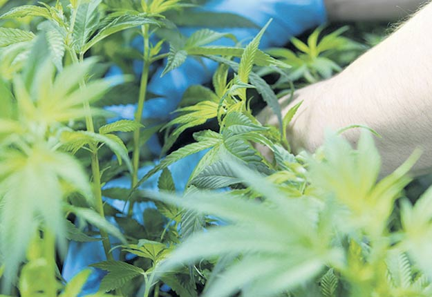 La production de cannabis a enregistré une « grosse croissance » en termes de revenus bruts en 2019, ce qui a eu pour effet d'accroître le revenu agricole canadien et québécois. Photo : Myriam Laplante/Archives TCN