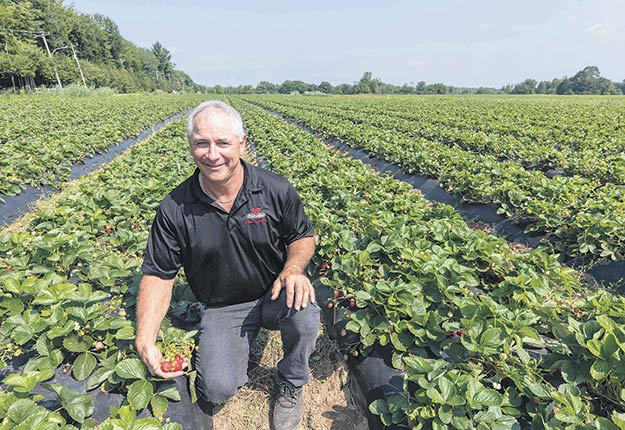 Simon Charbonneau, dont l'entièreté de la production est cultivée sous bâche, avait déjà récolté une centaine de boîtes de fraises, la semaine dernière. Photo : Gracieuseté de FraiseBec