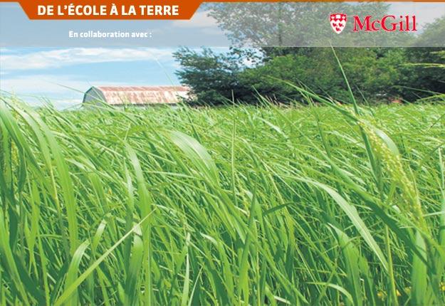 Cette culture d'herbacée est dédiée à la production de biocarburant, au centre de recherche en agronomie Emile A. Lods situé sur le campus Macdonald, à Sainte-Anne-de-Bellevue. Photo : Keomany Ker
