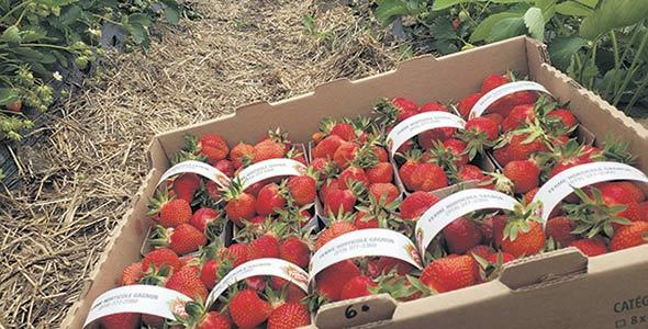 La récente vague de chaleur permet la cueillette hâtive de primeurs de fraises dans quelques fermes du Québec. Photo : Gracieuseté de la Ferme horticole Gagnon
