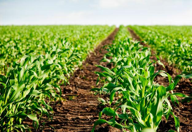 Au Québec, la superficie ensemencée de maïs-grain est de 890 800 acres, un recul de 5,7 % par rapport à 2019. Crédit : Archives/TCN
